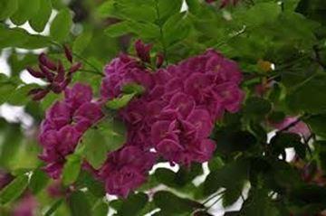 Adi Akasya Pembe Çiçekli 200 cm resmi