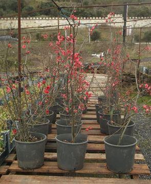 Bahar Dalı (Japon Elması) resmi