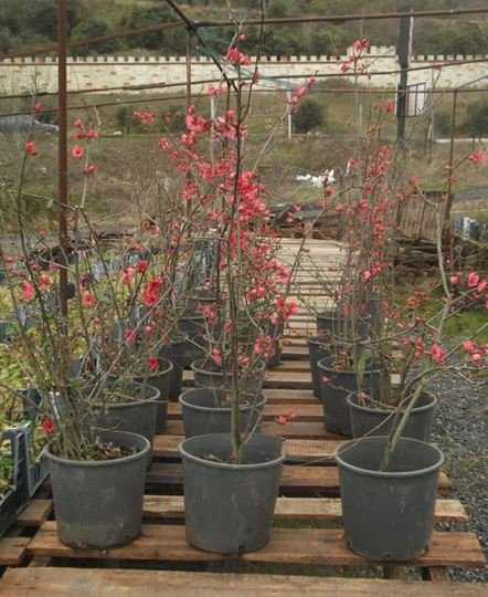 Bahar Dali Japon Elmasi Sahlan Fidanlik Cicek Bitki Tohum