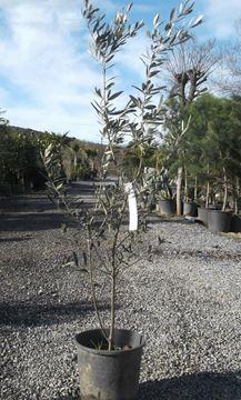 Zeytin Gemlik 2 Yaş 80-100 cm. Tüplü resmi