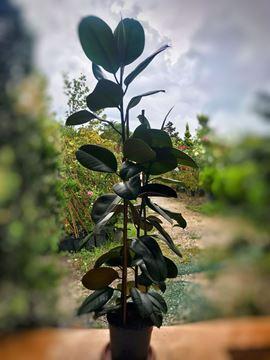Ficus elastica Robusta-Koyu Renk Yapraklı Kauçuk resmi