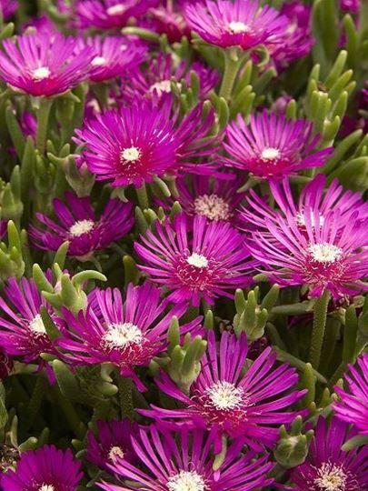 acem halısı dayanıklı çiçek mezar çiçeği