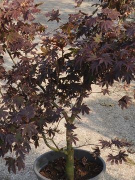 Kırmızı Yapraklı Japon Akçaağaç resmi