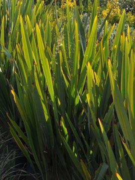 Yeşil Yapraklı Phormium resmi