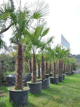 Palmiye Tüylü resmi