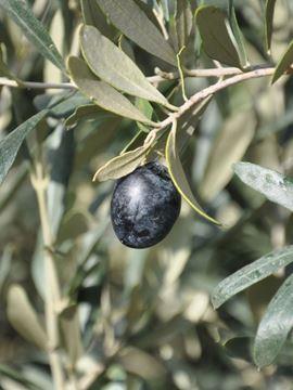 gemlik zeytin fidanı, zeytin tüplü, tüplü zeytin fidanı, tüplü zeytin fidanı fiyatları, tüplü zeytin fidanı nasıl dikilir, tüplü zeytin, tüplü zeytin fidanı dikimi, tüplü zeytin fidanı ne zaman dikilir, tüplü zeytin fidanı nedir