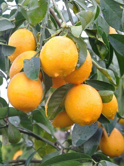 limon fidanı, limon fidanı fiyat, limon fidanı fiyatı, limon fidanı bakımı, limon fidanı çeşitleri, limon fidanı dikimi, limon fidanı nasıl ekilir, limon fidanı sulama, limon fidanı ne zaman ekilir, limon fidanı ne zaman budanır