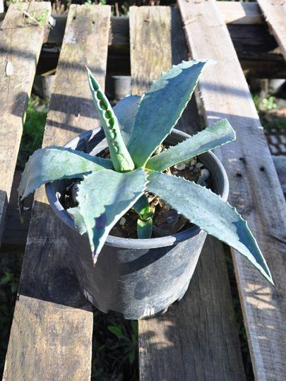 agave bitkisi, sabır otu, agave bitkisi çiçeği, agave bitkisi fiyatı